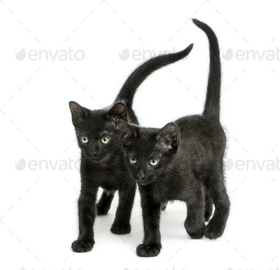Two Black kittens walking the same direction, 2 months old, isolated on white