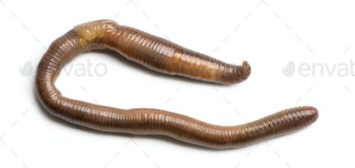 Common earthworm viewed from up high, Lumbricus terrestris, isolated on white