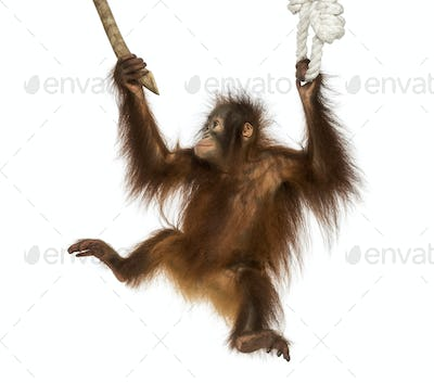 Young Bornean orangutan hanging on to a branch and rope, Pongo pygmaeus