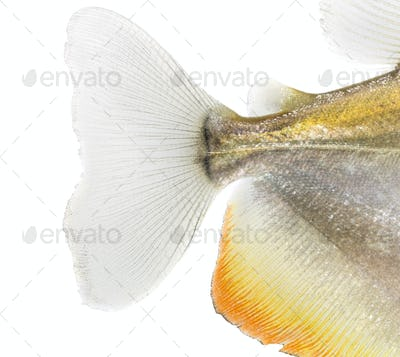 Close-up of a Mylossoma aureum's caudal fin, isolated on white