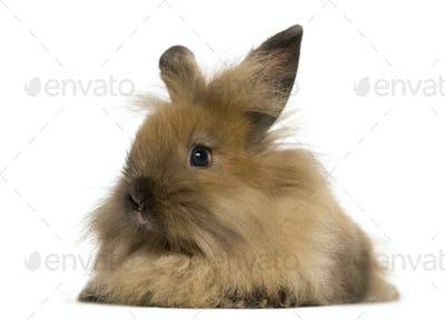 Angora rabbit, isolated on white