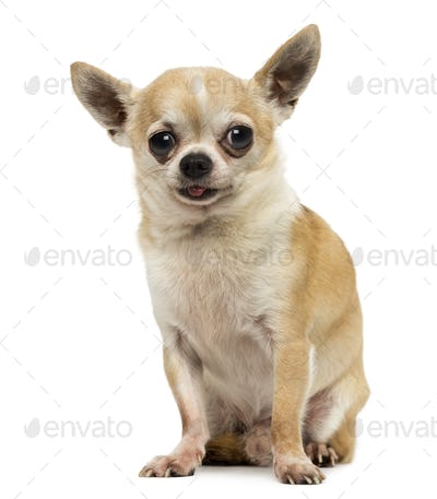 Chihuahua sitting, sticking the tongue out, isolated on white