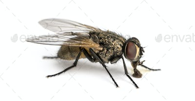 Side view of a dirty Common housefly eating, Musca domestica, isolated on white