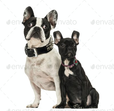 French Bulldog adult and puppy looking away, 3 months old, isolated on white