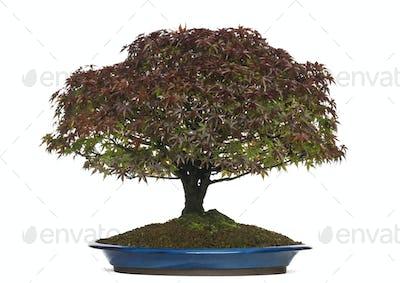 Acer palmatum Kiyohime bonsai tree, isolated on white