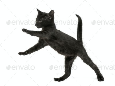 Black kitten standing on hind legs, playing, 2 months old, isolated on white