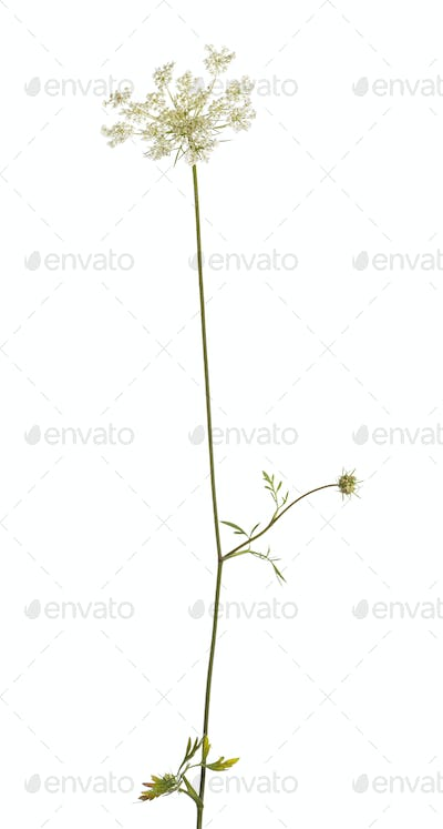 Wild flowering plant, isolated on white