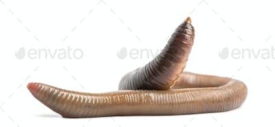 Common earthworm, Lumbricus terrestris, isolated on white