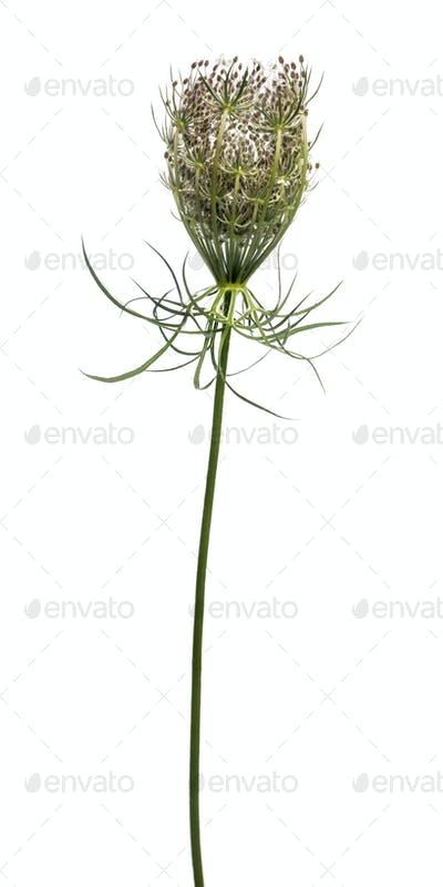 Wild plant flowering, isolated on white