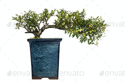 Ilex bonsai tree, isolated on white