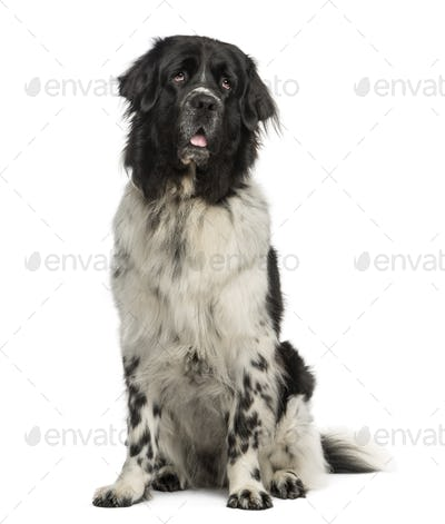 Newfoundland dog sitting, panting, looking up, 2 years old, isolated on white