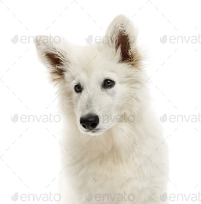 Close-up of a Swiss Shepherd Dog puppy, looking away, 3 months old, isolated on white