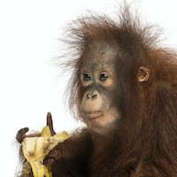 Close-up of a young Bornean orangutan eating a banana, Pongo pygmaeus