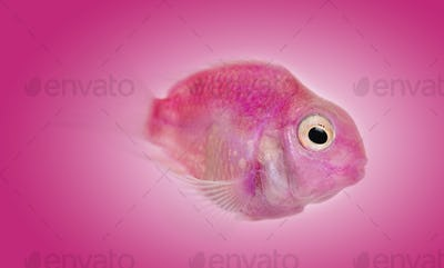 Side view of a pink fresh water fish on a pink background