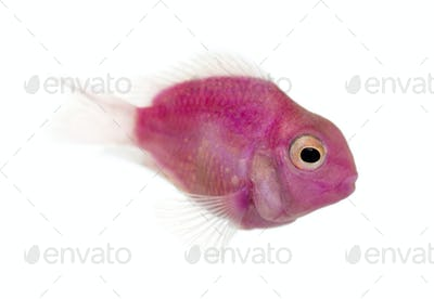 Side view of a pink fresh water fish swimming, isolated on white