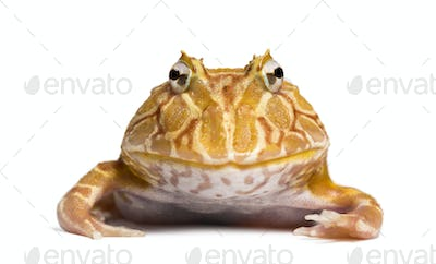 Front view of an Argentine Horned Frog looking at the camera, Ceratophrys ornata, isolated on white