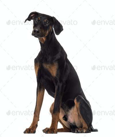 Doberman Pinscher puppy sitting, 6 months old, isolated on white