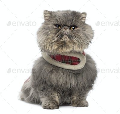 Front view of a grumpy Persian cat wearing a tartan harness, sitting, isolated on white
