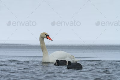 Whooper Swan and Eurasian coot  in winter