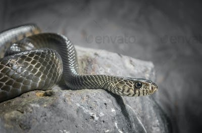 Snake on the stone processed in low key