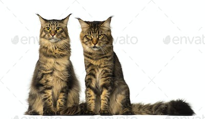 Two Maine Coons sitting and one of them is sulking