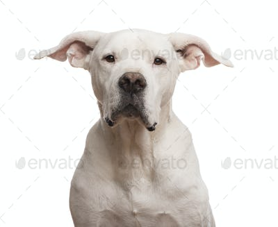 Close-up of a Dogo Argentino looking at the camera