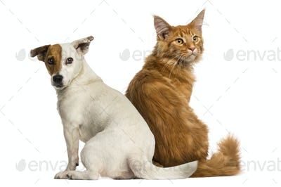 Rear view of a Maine Coon kitten and a Jack russell sitting and looking