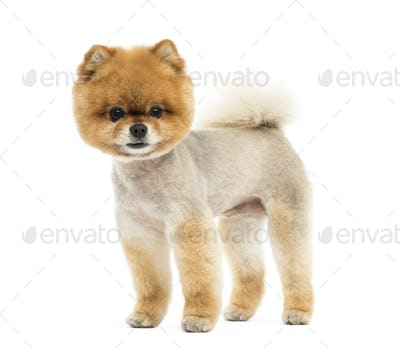 Groomed Pomeranian dog standing and looking at the camera
