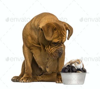 Dogue de Bordeaux sitting and looking at rabbits in a dog bowl