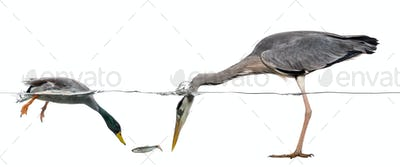 Mallard and heron diving to catch a fish, isolated