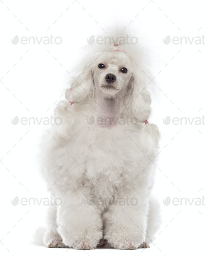 Poodle sitting and looking at the camera