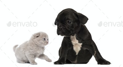 Kitten meets a French bulldog puppy sitting