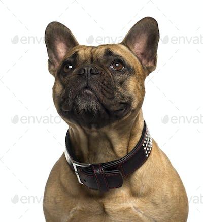 Close-up of a French Bulldog looking up