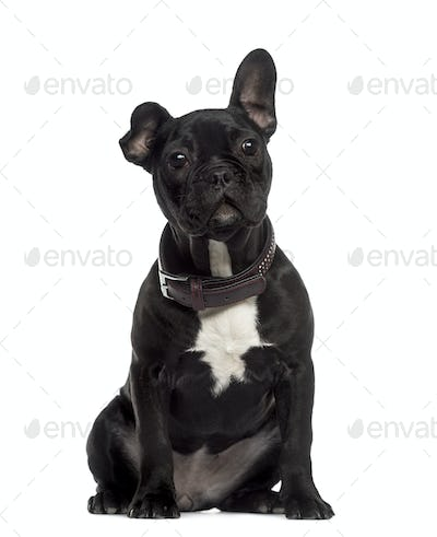 French Bulldog sitting and looking