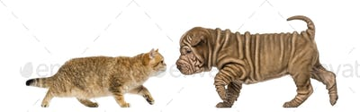 British shorthair kitten meeting a sharpei puppy