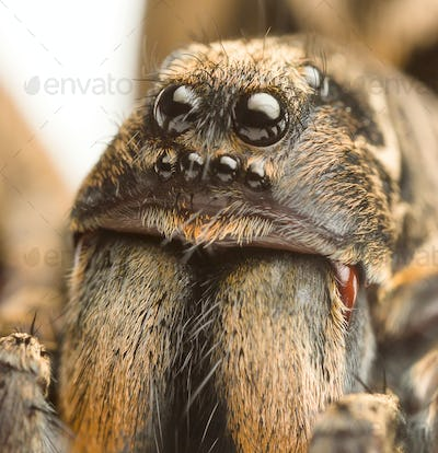 wolf spider up close