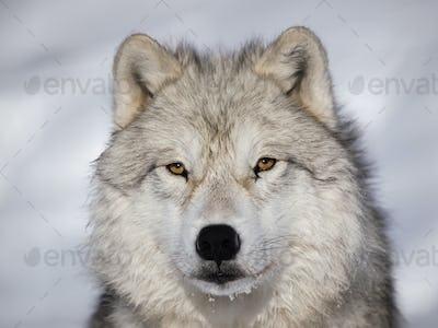 Arctic Wolf alpha male closeup
