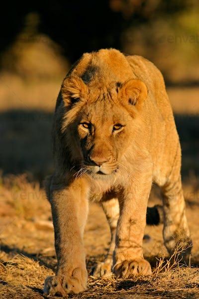 Stalking African lion