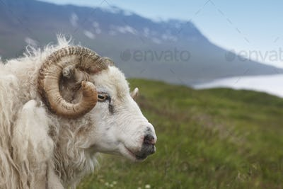Icelandic sheep wih mountains and lake.