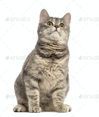 European Shorthair (6 months old)