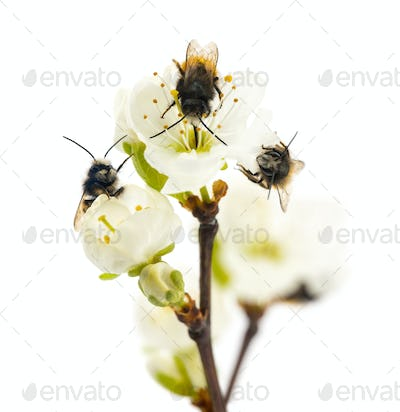 Group of Bees pollinating a flower - Apis mellifera, isolated on white