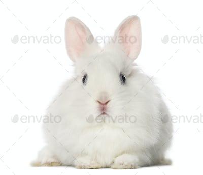 White Rabbit, isolated on white