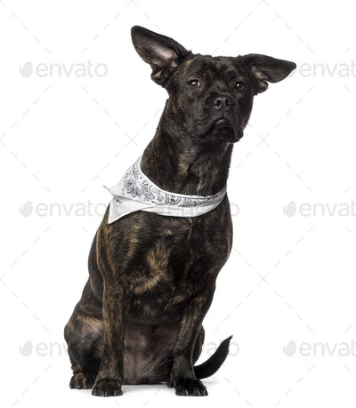 Crossbreed wearing a scarf (1 year old), isolated on white