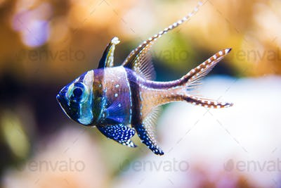 Red Sea Cardinal Fish