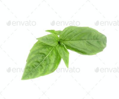 Close up of green fresh basil.