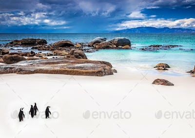 Wild South African penguins
