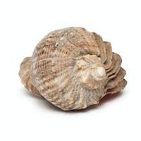 Seashell Isolated On The White Background