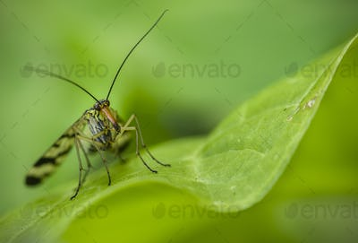 Long nose insect on green leaf
