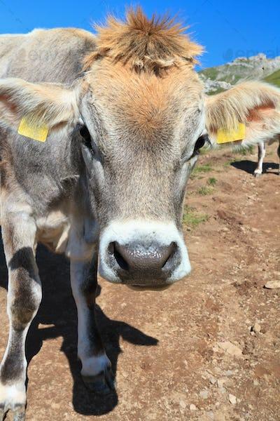 cow on alpine pasture