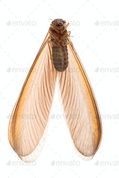 termite white ant bug